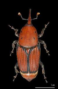 250px-Rhynchophorus_ferrugineus_MHNT