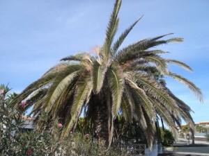 palmera canaria sintomas 1