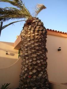 palmera canaria sintomas 2