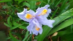 iris japonica2015
