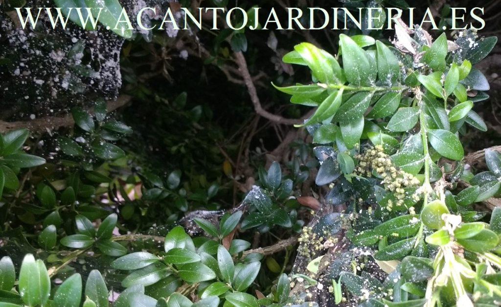 Interior de planta atacada: hilos de seda y excrementos