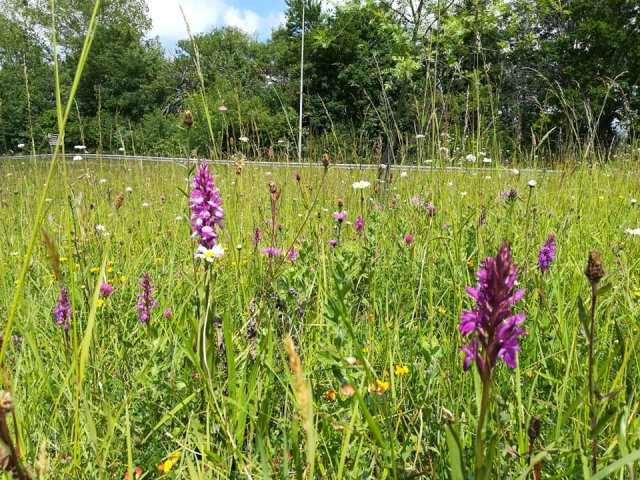 Tipos de flores en un prado del norte: espigas de orquídeas y margaritas