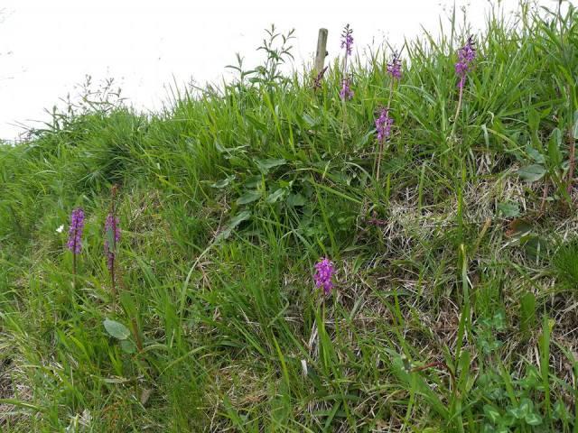 Espigas de orquídea en un prado del norte de España.