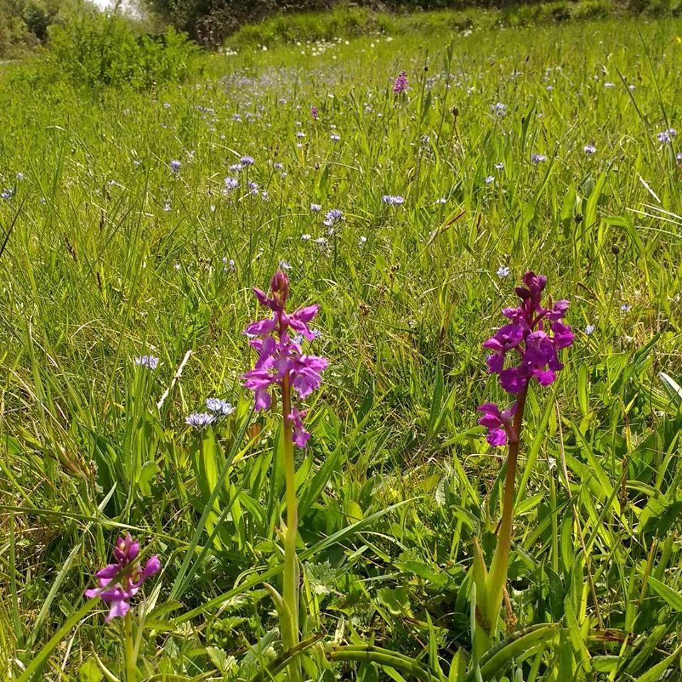 Orquídeas manchadas y Escilas de primavera en un prado húmedo