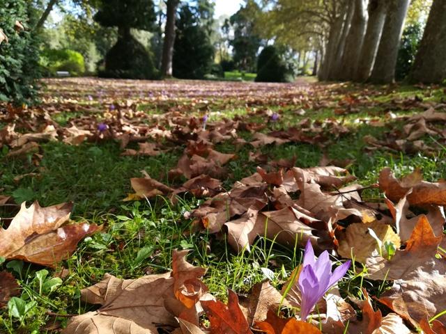 Prado florido con azafranes de otoño