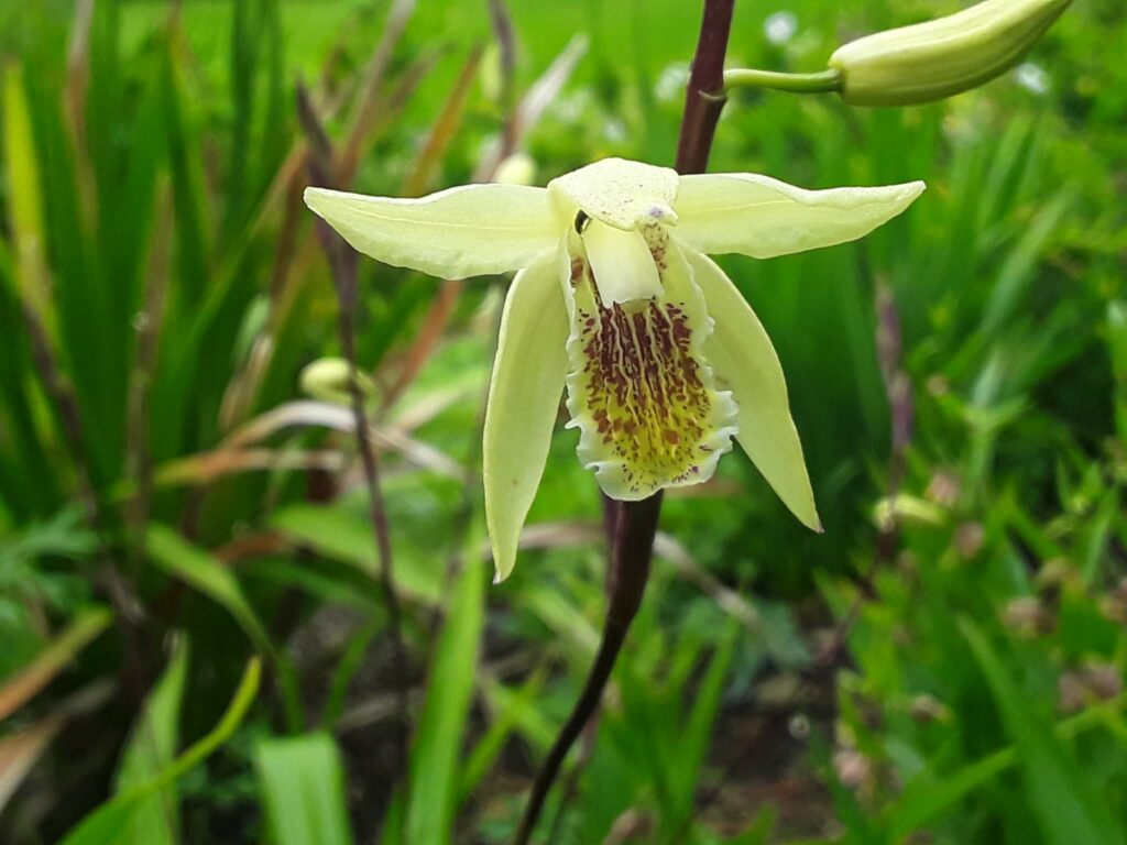 Flor orquídea Bletilla ochracea