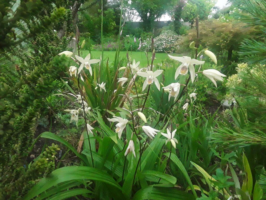 grupo de orquídeas Bletilla ochracea