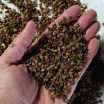Semillas frescas de Rhinanthus minor